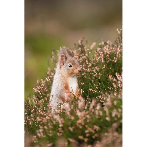 Red Squirrel (Sciurus vulgaris) standing amongst heather